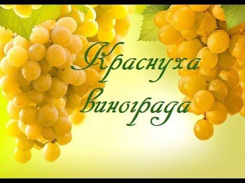 Краснуха винограда.