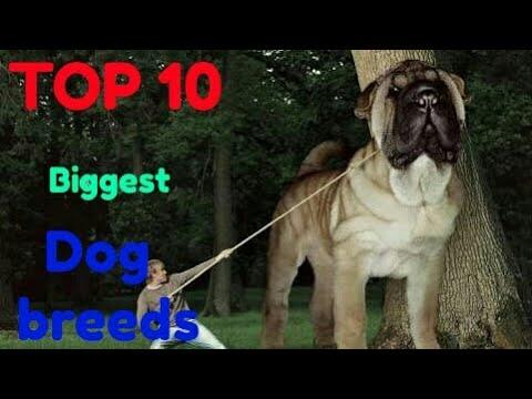Top 10 biggest dog breeds | Dog Zone India |