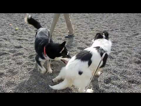 Border Collie dog intro