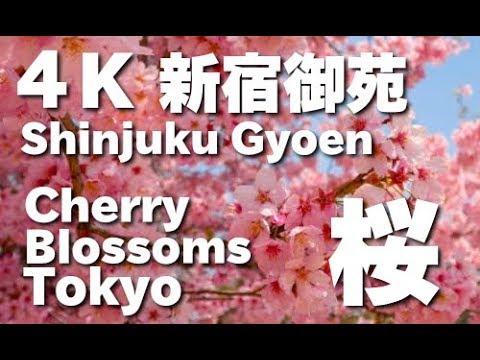 4K TOKYO JAPAN 新宿御苑の桜 (Sakura )東京の桜 Shinjyuku Gyoen National Garden(cherry blossoms)東京観光 日本の桜 桜の名所