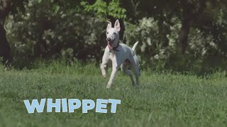 Whippet Dog Breed Information and Interesting Facts