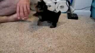 Teacup Yorkie!  (video #3)