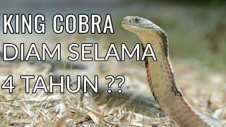 Heboh King Cobra Diam Selama 4 Tahun? Padahal....