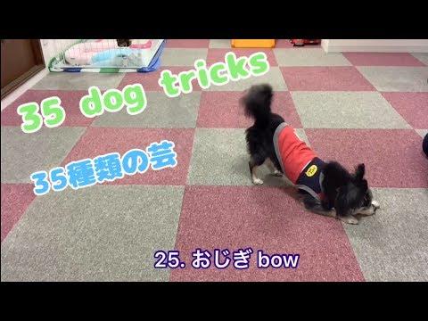 35種類の芸をするチワワ👍35 dog tricks 【犬のしつけ】
