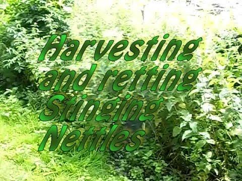 Harvesting and retting stinging nettles