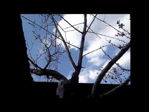 Слива (Prunus), дерево слива, древесина сливы