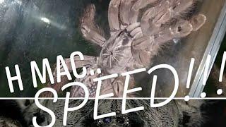 H maculata tarantula speed.