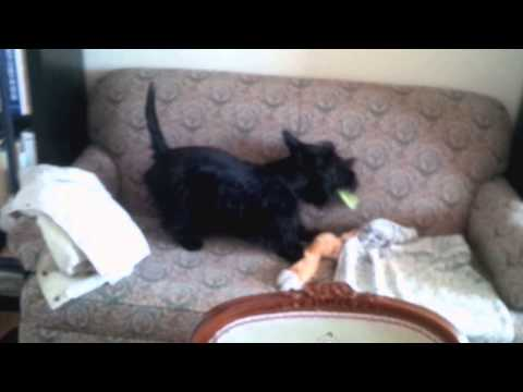 Scottish Terrier Playing with celery