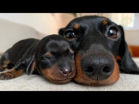 A day with my dachshund and puppies.