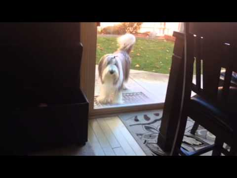 Bearded Collie Messing About