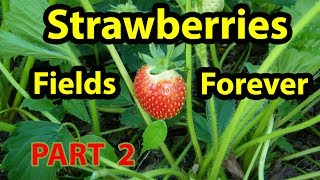 How to CARE & Grow Healthy Organic Strawberries Roots No Till Raised Bed Garden Part 2