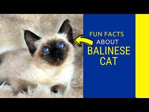 7 Reasons to Love the Beautiful Balinese  Balinese Cat facts for kids