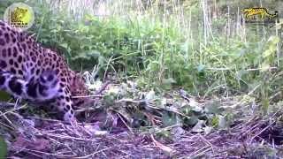 Дальневосточный леопард с добычей/Amur leopard with prey