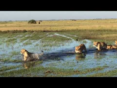 Lions playing in the water at Duba Plains, Botswana