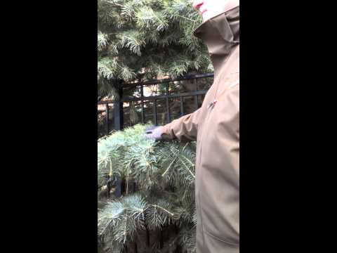 Abies concolor (Silver Fir)