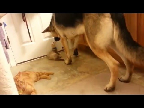 Cat, Ferret and German shepherd best friends