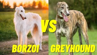 Borzoi VS Greyhound Dog  Which dog is faster? Top 10 Fastest Dogs