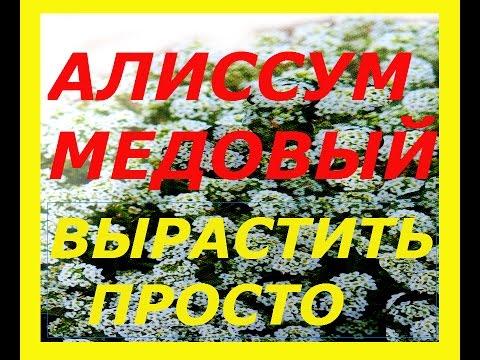 САМЫЙ ПРОСТОЙ СПОСОБ БЫСТРОГО ВЫРАЩИВАНИЯ АЛИССУМА МЕДОВОГО !