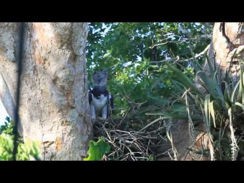 Harpy Eagle, Forest Expedition, Rio Tambopata, Darkest Peru.m4v