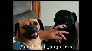 Daisy & Pumba's Pugalier Puppies are here!