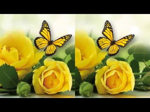 Lovely flower | Ý nghĩa hoa hồng vàng | Love tivi