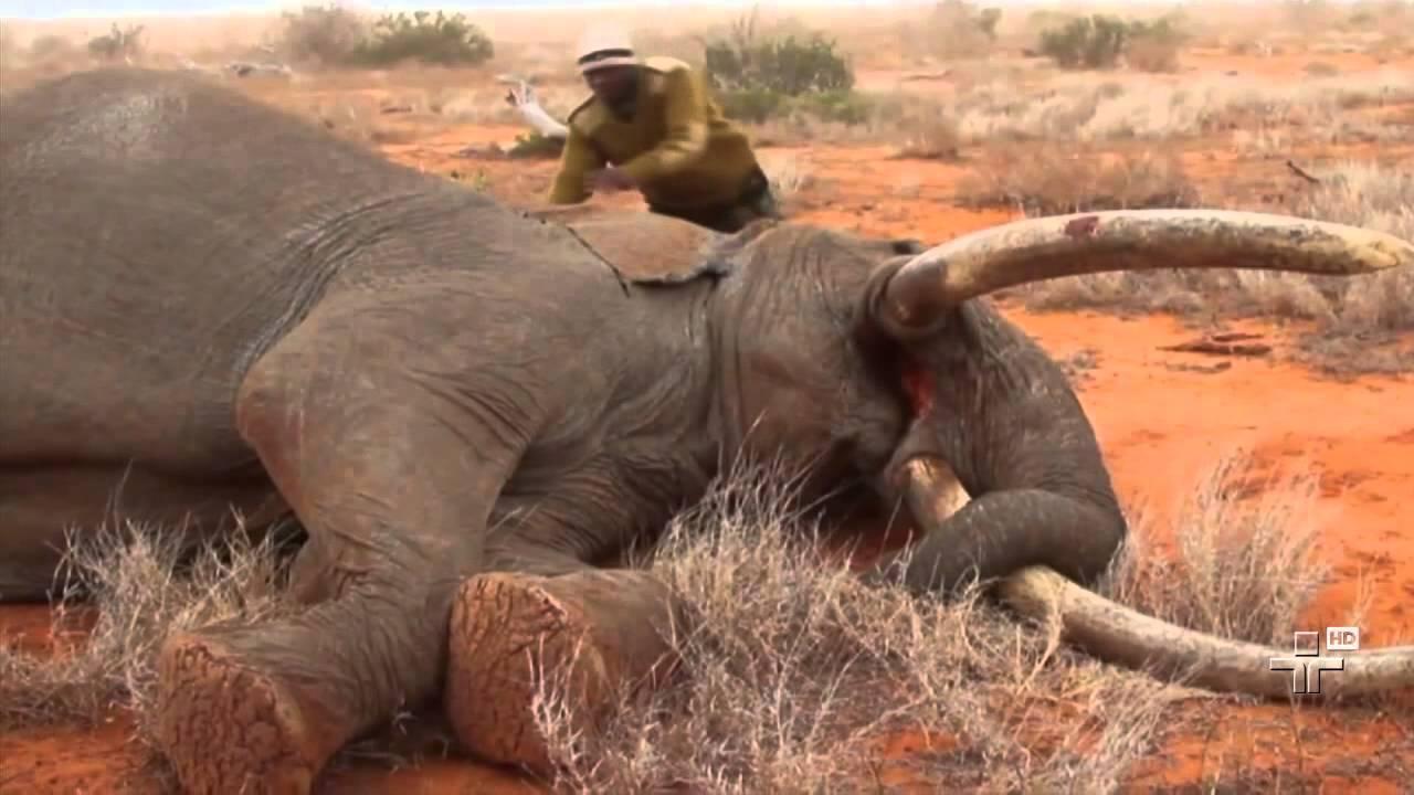 Protetores Da Vida Animal Conseguem Salvar Um Elefante