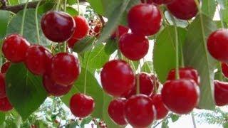 Amasya Bahçeleri (Organik Meyve ve Sebze Yetiştiriciliği) - Video Edited by Falcon ~~ Falcon Multimedia ~~ [Bu videoda yer alan müziklerin, kayıtların hiçbiri kendime ait değildir / No copyright infringement intended]