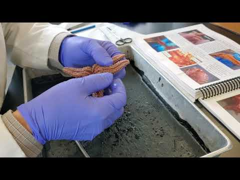 Sea Star Dissection - BIOL 225