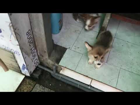 Bán chó corgi thuần chủng tại hà nội lh 0352228886