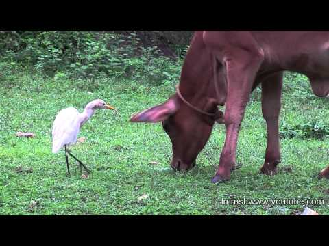 Cattle Egrets With Cattles
