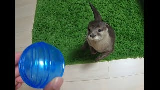 The otter who can't help reacting [Otter life Day 124] 反応せずにいられないカワウソ