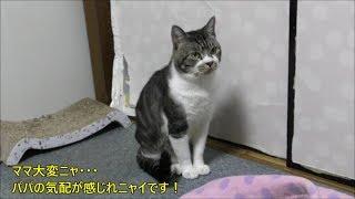 パパがいないとしっぽが下向きな猫リキちゃん☆今日も必死にパパ探し☆パパが大好きな甘えん坊猫【リキちゃんねる 猫動画】Cat videos キジトラ猫との暮らし
