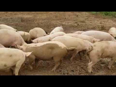 Otuo Farms, Free Range Pig Farming In Ghana