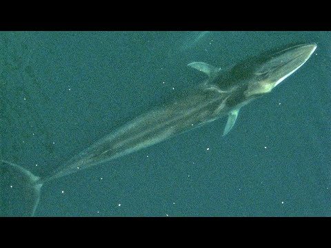Facts-The-Fin-Whale