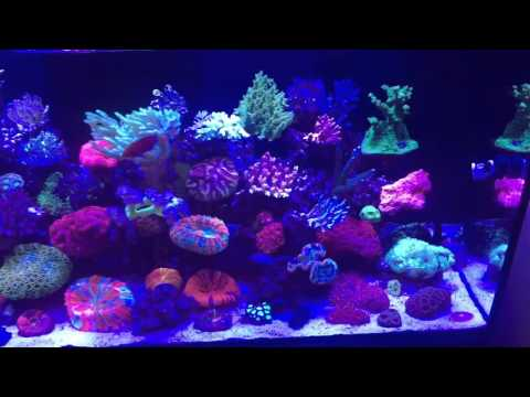 Sps corals growing in my Red Sea Reefer
