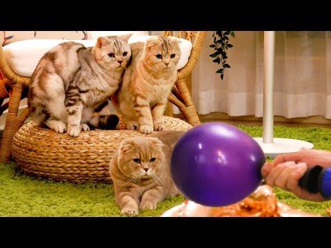 풍선 터질까봐 조마조마하는 고양이들