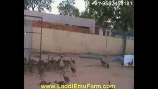LaddiEmuFarm (emu farming and hatchery)