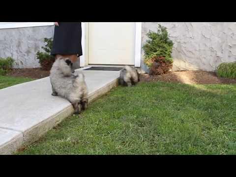Keeshound Puppies For Sale Samuel Stoltzfus