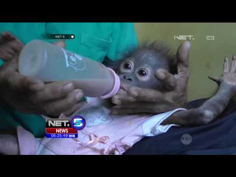 Suasana Haru Mewarnai Proses Penyerahan Bayi Orangutan - NET5