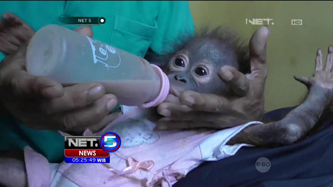 Suasana Haru Mewarnai Proses Penyerahan Bayi Orangutan NET5