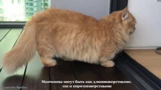 Почему кошки породы манчкин слишком прекрасны для этого мира