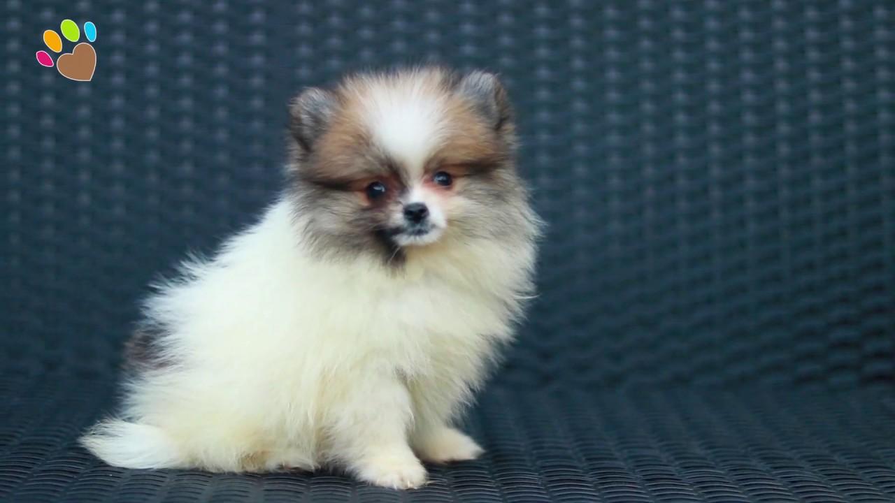 Parti Color Pomeranian Dostumuz Poncy
