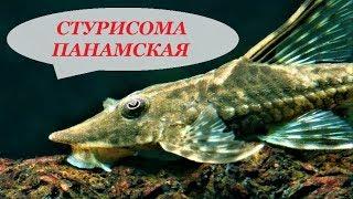 Стурисома Панамская в аквариуме. Содержание, совместимость, разведение, чем кормить.