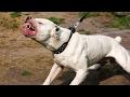 Dünyaca Ünlü Yasaklanmış 10 Köpek Irkı