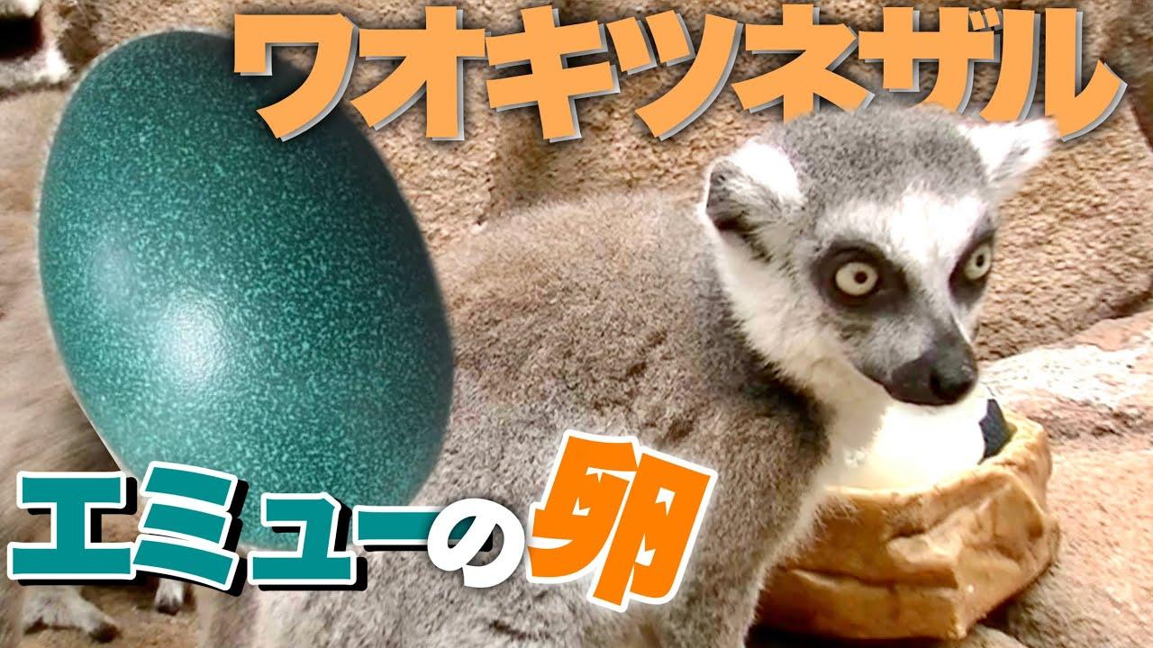 ガラが悪い?ワオキツネザルにエミューの卵あげたら予想外の反応が・・・