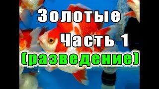 Золотые рыбки. Часть 1 (разведение)