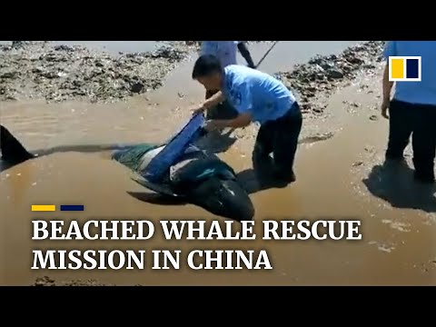 Beaching of melon-headed whales in China sparks rescue mission, bodies of some used for research