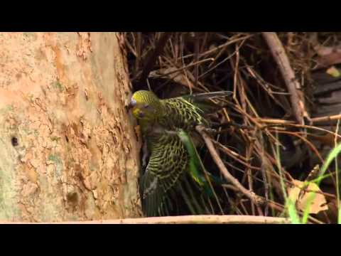 Full Documentary   Nature Parrots in the Land of Oz HD