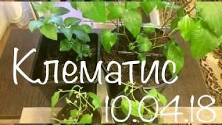 Клематис 10.04.18 Выращивание  и размножение клематис