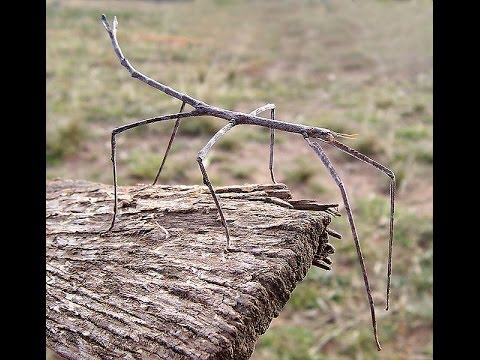 Walking Stick insect!